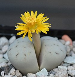 Lithops flower facts