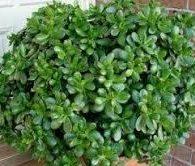Poisonous succulents