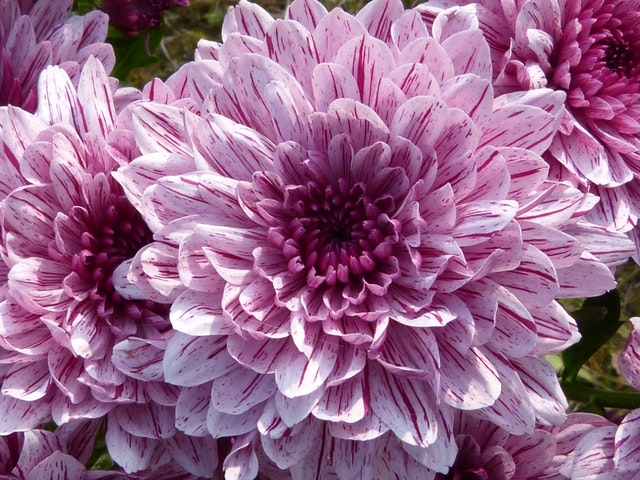 Chrysanthemum | Meaning, Types, Tea, Growing