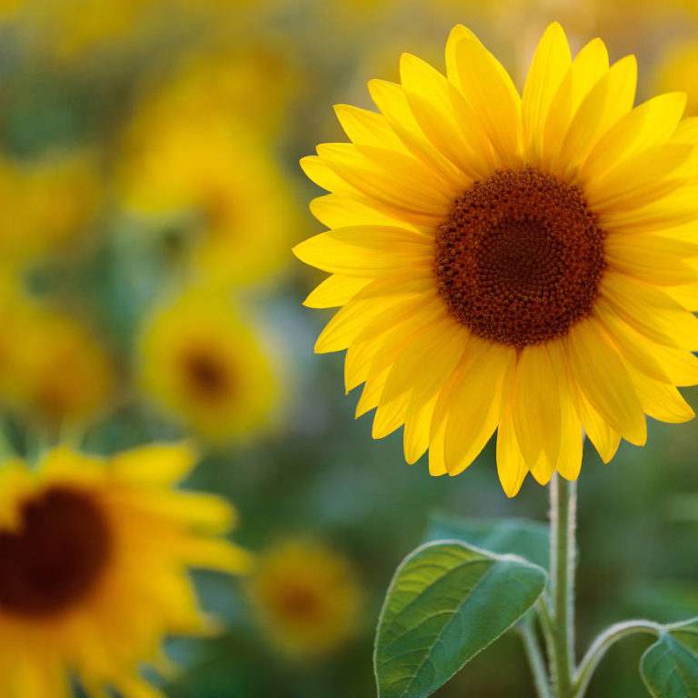 Sunflower | Meaning,Types,Uses