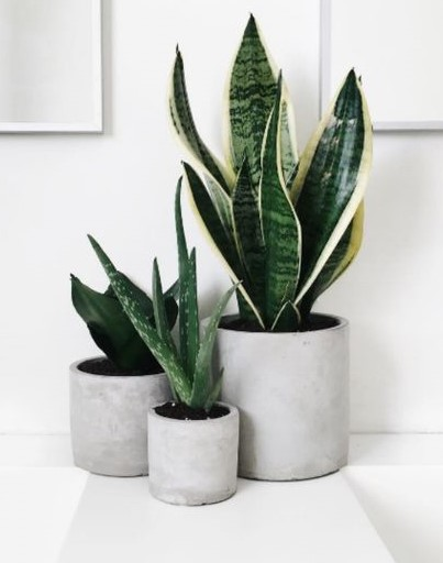 Snake Plant Bad Luck