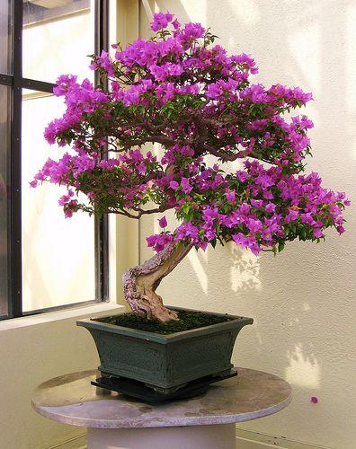 scarlet begonias bonsai