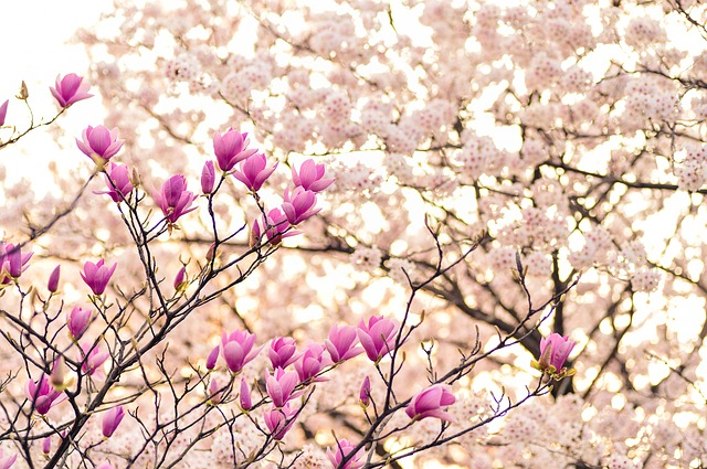 magnolias meaning