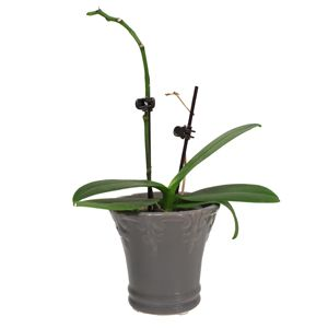 Do You Cut Off Dead Orchid Stems?