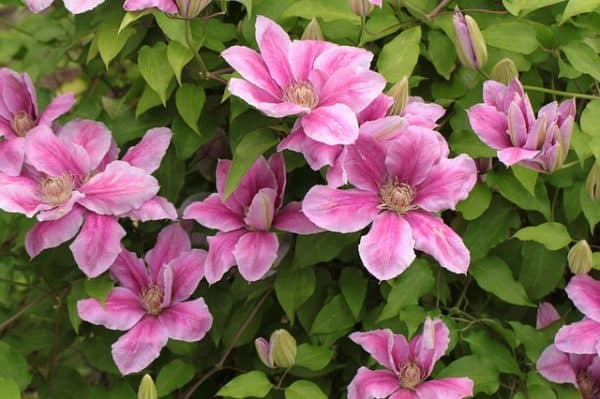 Do you Deadhead Clematis?