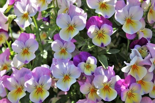 What To Do With Pansies After Flowering