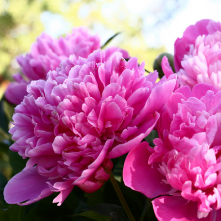 Peonies garden growing tips