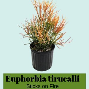 Euphorbia tirucalli 'Sticks on Fire'
