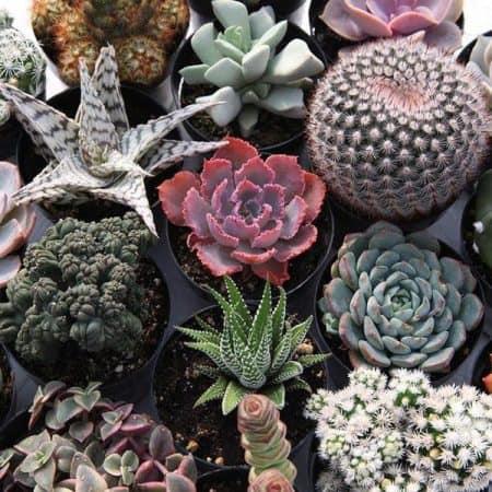 Rare succulents for sale