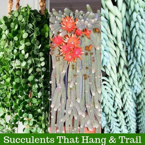 20 Cacti and Succulents that Hang or Trail (With Pictures)
