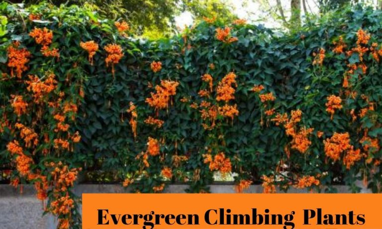 Valuable Evergreen Climbing Plants for Happy Gardeners