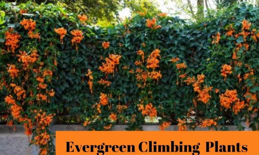 Best Evergreen Climbing Plants