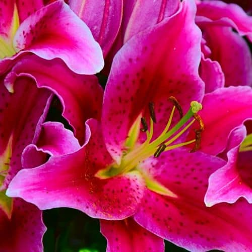 Day Lilies Poisonous
