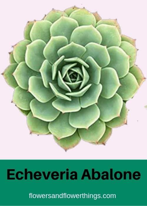 Echeveria Abalone