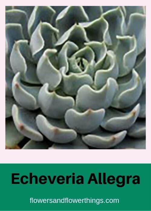 Echeveria Allegra