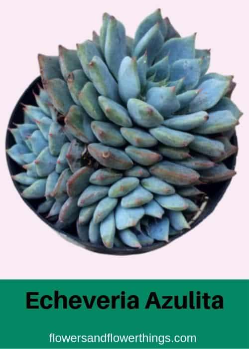 Echeveria Azulita