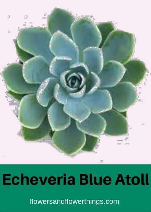 Echeveria Blue Atoll
