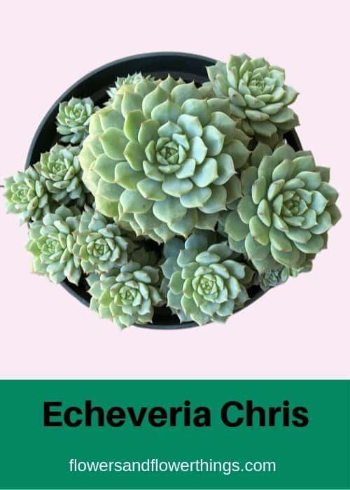 Echeveria Chris