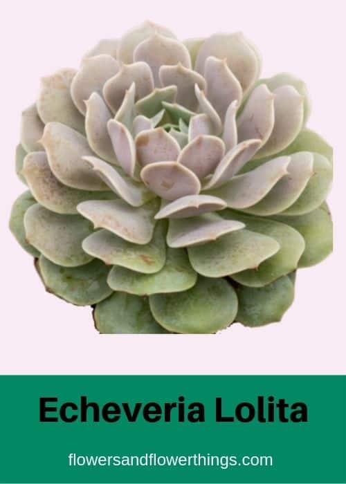 Echeveria Lolita