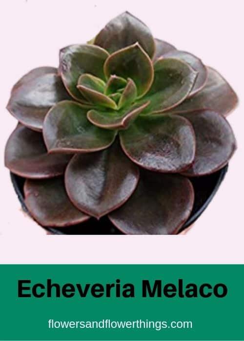 Echeveria Melaco