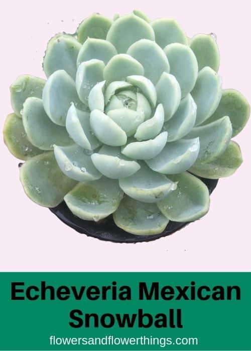 Echeveria Mexican Snowball