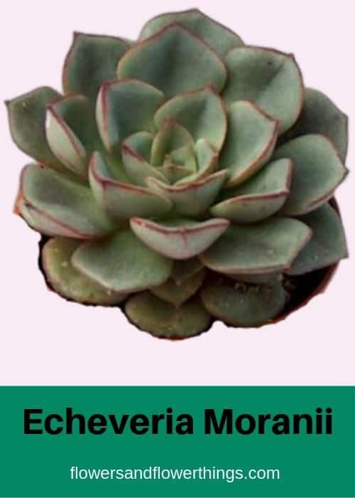 Echeveria Moranii