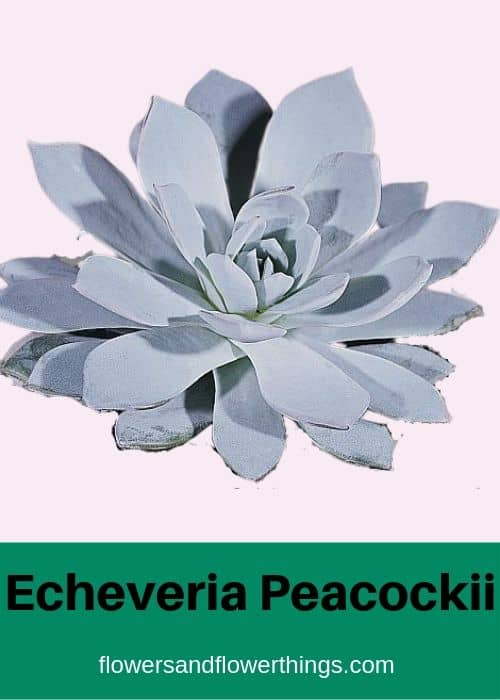 Echeveria Peacockii