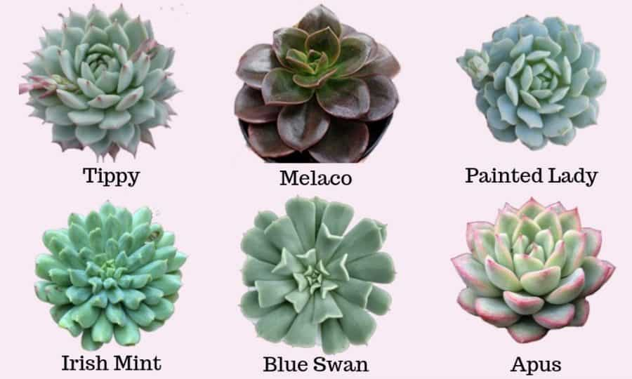 Echeveria types