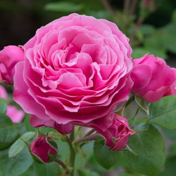 Growing Roses (pruning fertilizing diseases)