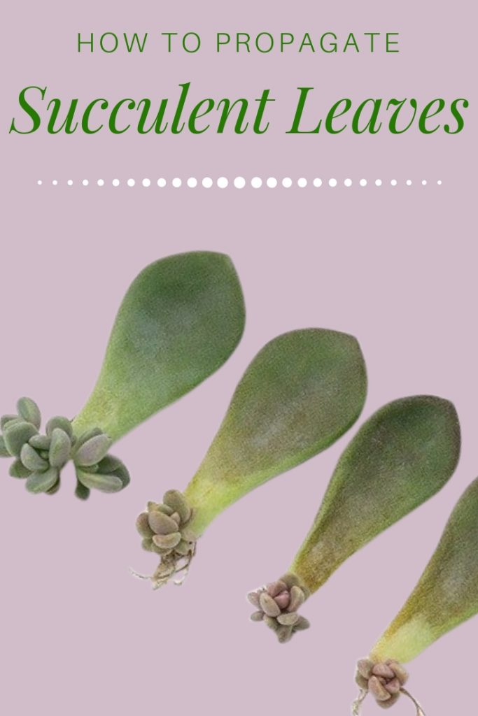 How to propagate succulent leaves