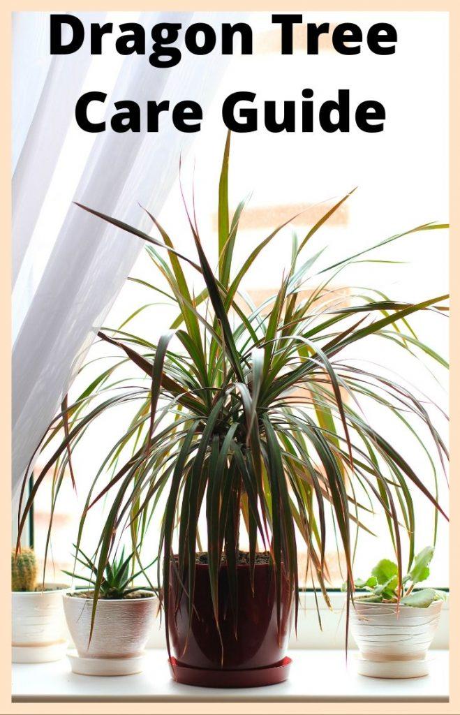 Dragon Tree plant care guide