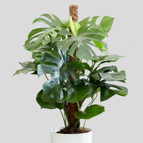 Monstera plant for sale