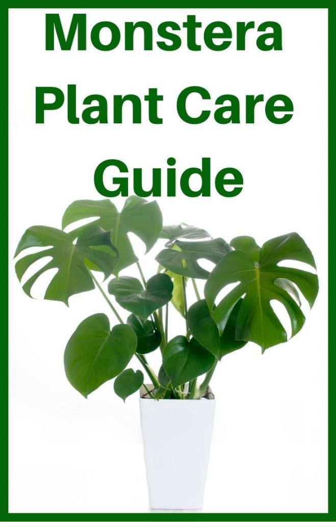Swiss Cheese Plant Monstera Plant Care guide
