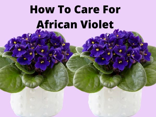 How To Care For African Violet