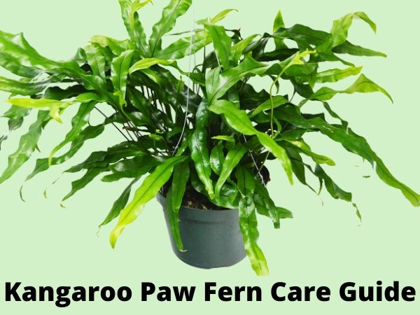 Kangaroo Paw Fern Care Guide