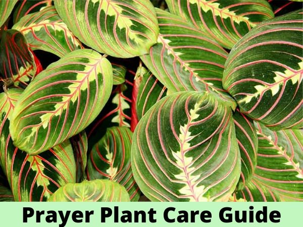 Prayer Plant Care Guide