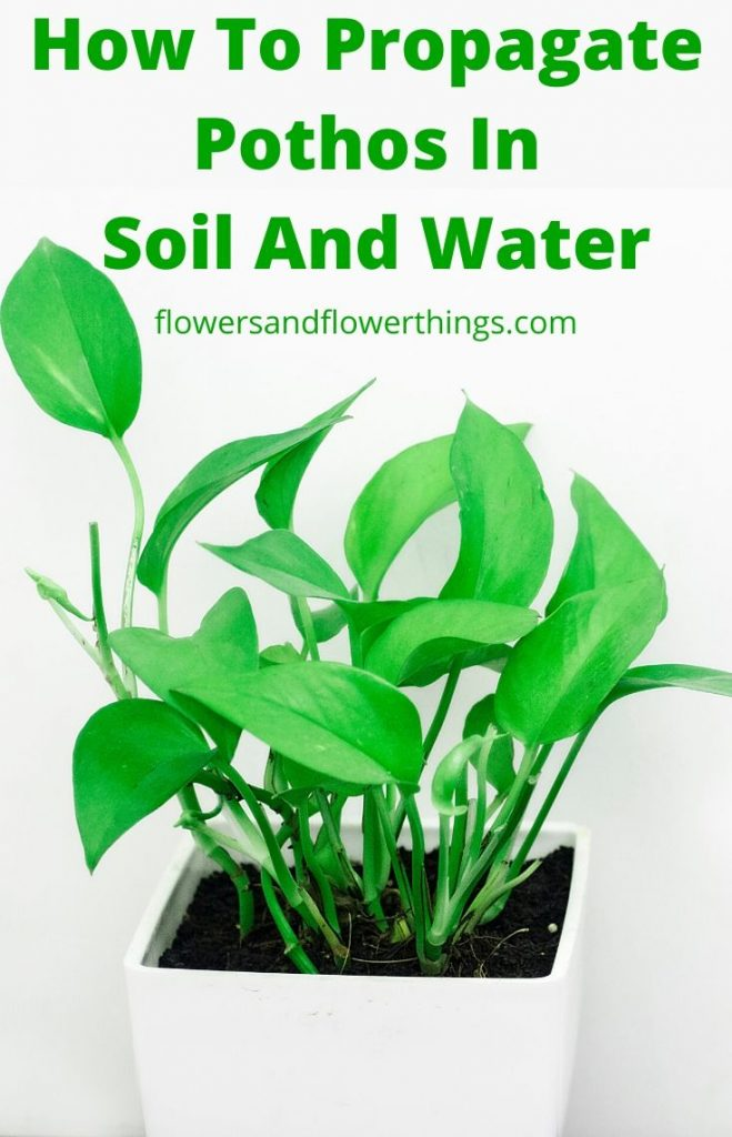 How to propagate pothos in water and soil