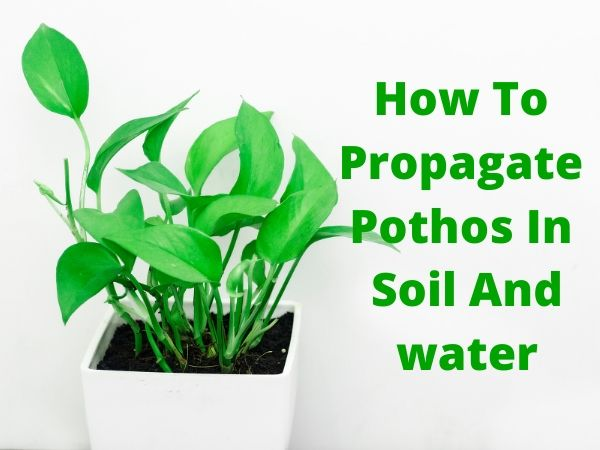 How To Propagate Pothos In Soil And Water