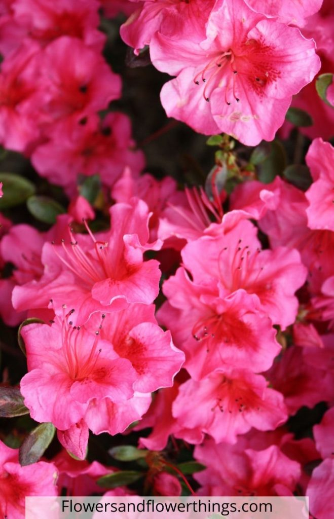 How to care for a hibiscus plants