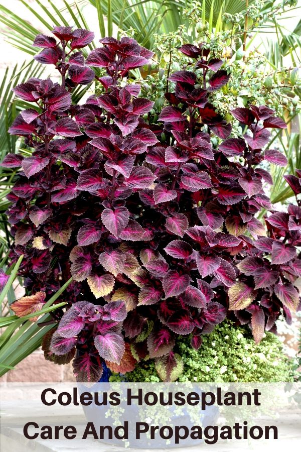 coleus houseplant care and propagation