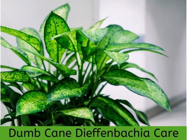 Dumb Cane Dieffenbachia Houseplant Care