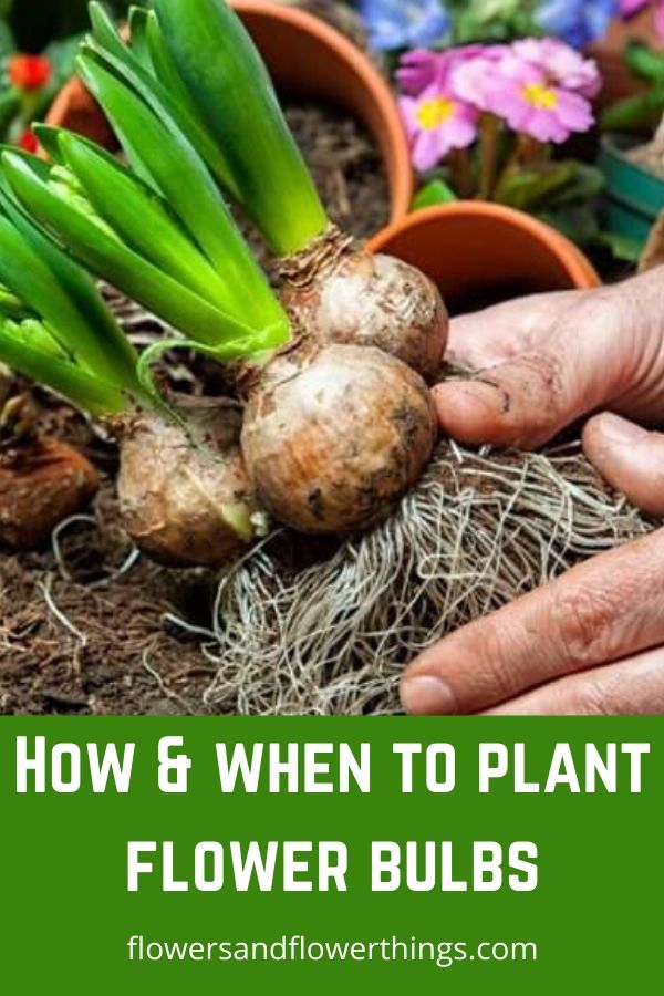 How and when to plant flower bulb