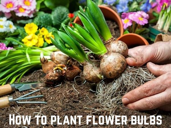 How and When to Grow Flower Bulbs?