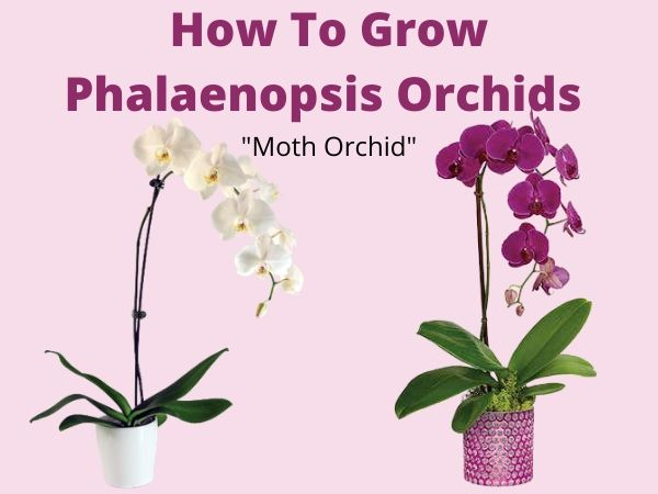 How To Grow Phalaenopsis orchids And Care Tips