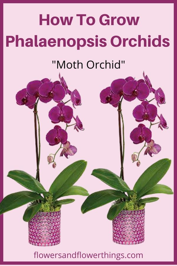 How to grow and care tips for Phalaenopsis Orchids Moth Orchids