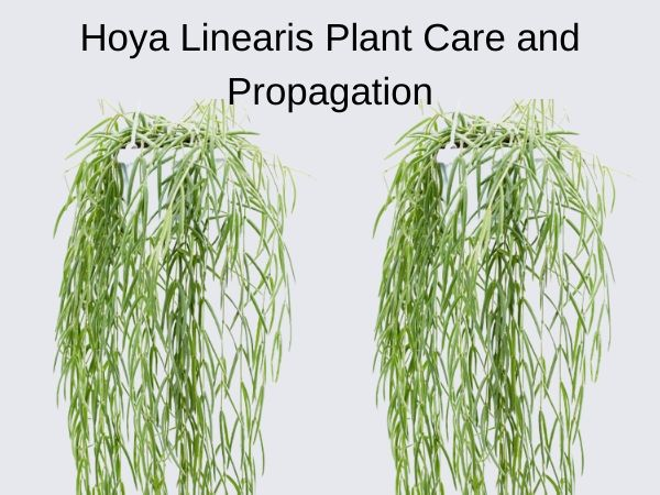 Hoya Linearis Plant Care and Propagation