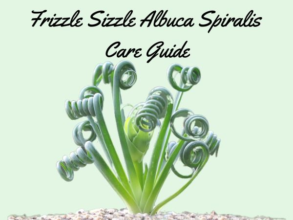 Frizzle Sizzle Albuca Spiralis Care Guide