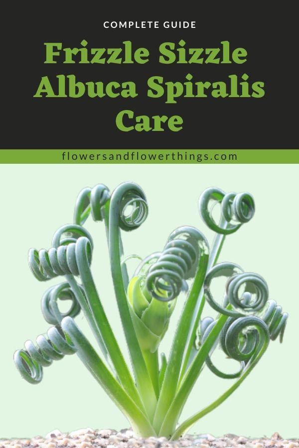 Frizzle Sizzle Albuca Spiralis Care complete Guide