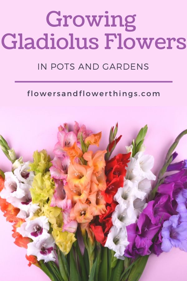 Growing Gladiolus Flowers in Gardens and Pots Ideas