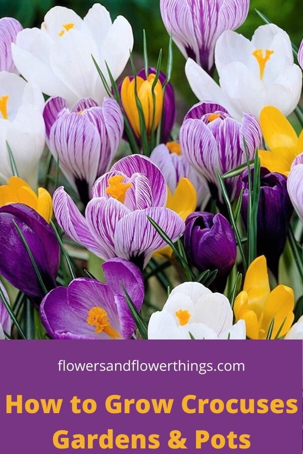 How to Grow Crocuses Gardens and Pots